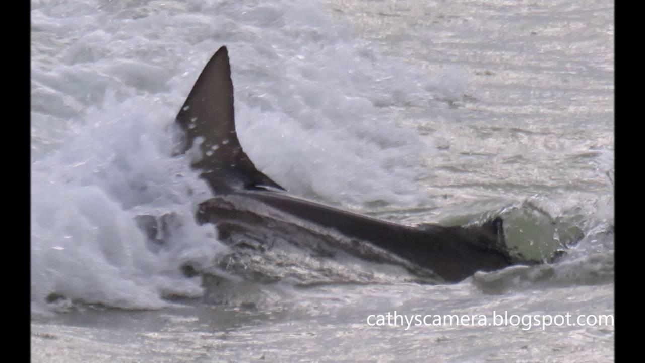 Shark swimming near shore panama city beach fl sept 17 for Shark fishing panama city beach