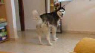 My siberian husky dog barking at the mirror funny