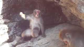 神奈川県のよこはま動物園ズーラシアのニホンザルです。 Zoorasia Yokoh...