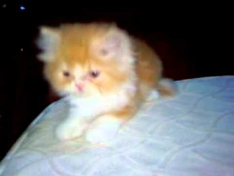 For Sale Female Tabby Orange Persian Kitten 9k