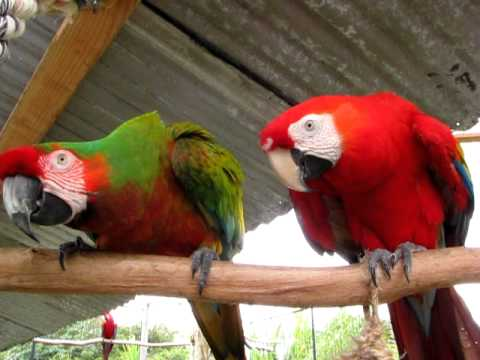 Verde Macaw
