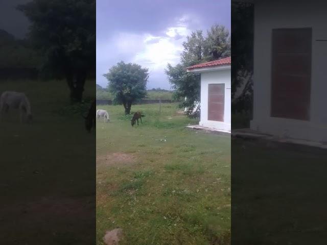 Hospital de União serve de curral para gado