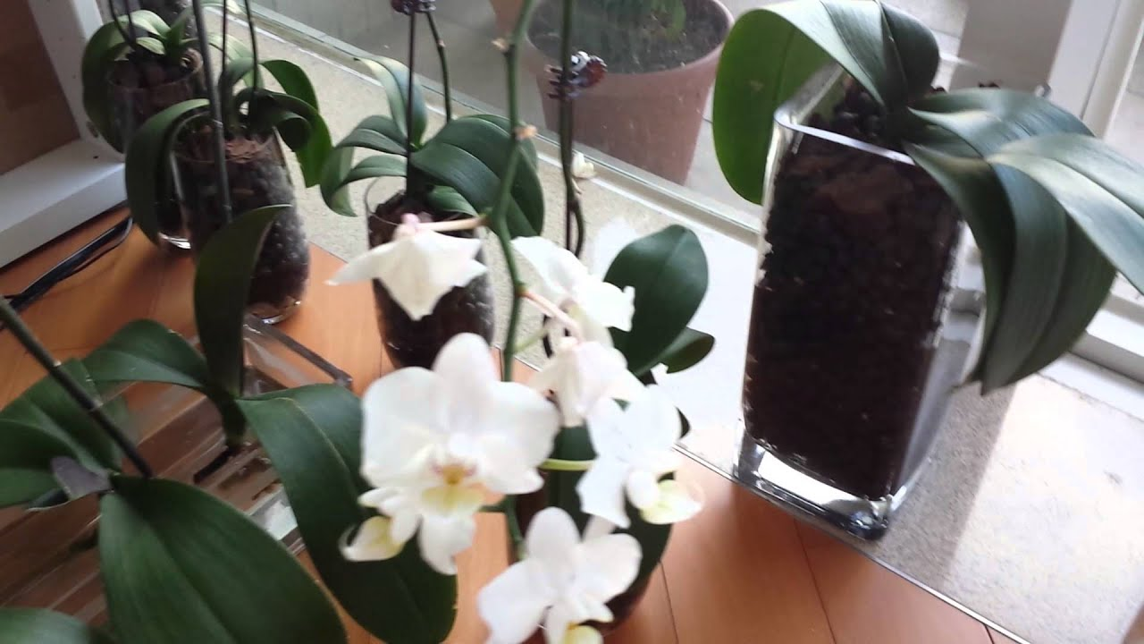 Phalaenopsis orchids in water culture update youtube reviewsmspy