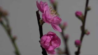 Peach Flower Blossoms