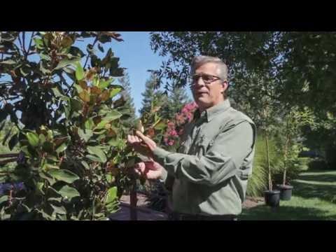 Magnolia Little Gem - Trees 101