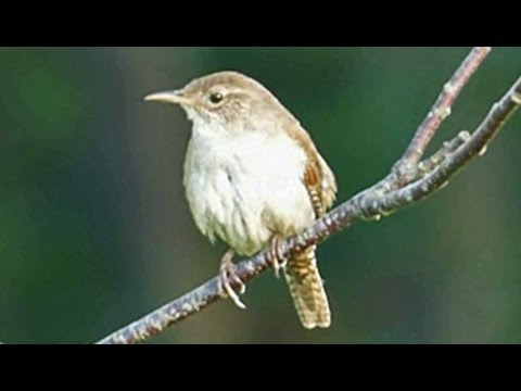Carolina Wren at Great Blue Hill Summit 1 - July 12, 2015