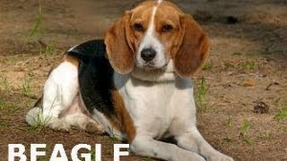 Beagle Training - Basic Facts About Training!