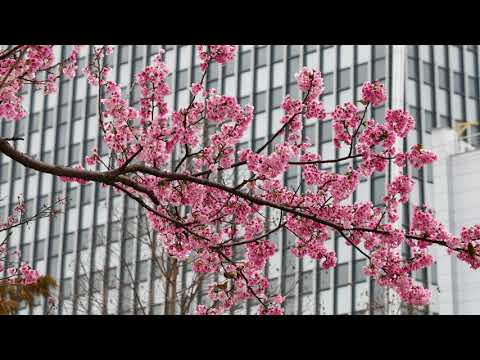 180220 Cherry Blossoms With Japanese White Eyes