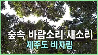 숲속 바람소리 새소리 - 자연의소리 - 제주도 비자림 숲속 힐링 - 3시간 연속