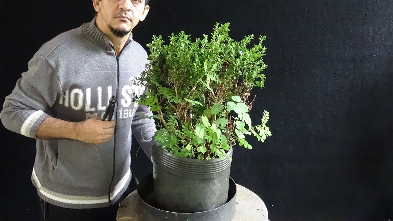 Nicholas buxus sempervirens vídeo youtube
