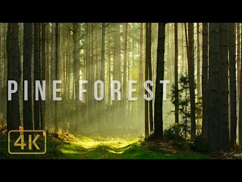 🎧🌲 1 Hour Pine Forest in 4K Relaxing Nature Sounds Study, Sleep, Calming, Meditation, White Noise