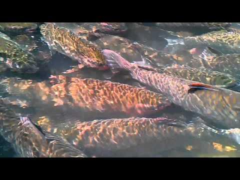 Suối Cá Thần Cẩm Thủy Thanh Hóa.3gp