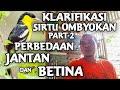 Perbedaan Sirtu Jantan Dan Betina Karifikasi Sirtu Ombyokan Sck Sadulur Cipoh Karawang  Mp3 - Mp4 Download