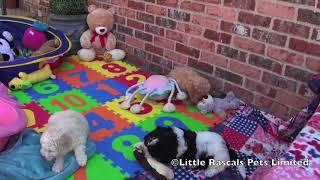 Little Rascals Cockapoo Puppies