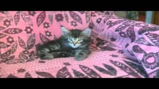 котенок мейн-кун продается