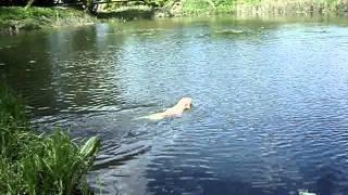Labrador Retriever. Training Swim