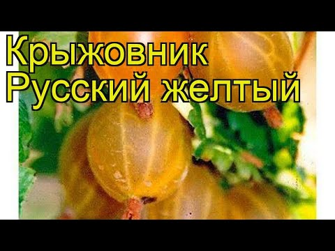 Крыжовник Русский желтый. Краткий обзор, описание характеристик ribes uva-crispa Russkii zheltyy