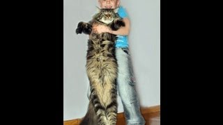 Кошка Мейн кун(Мейн-ку́н (англ. Maine Coon) — аборигенная порода кошек, которая произошла от кошек, проживающих на фермах Северо..., 2013-09-21T10:08:46.000Z)