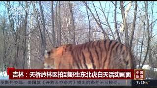 [中国新闻]吉林:天桥岭林区拍到野生东北虎白天活动画面| CCTV中文国际