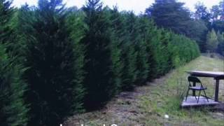 Fast Growing Trees.....Leyland Cypress Trees