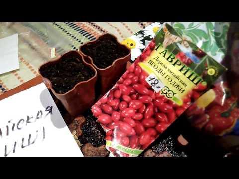 Барбарис Тунберга: посадка и уход, выращивание и