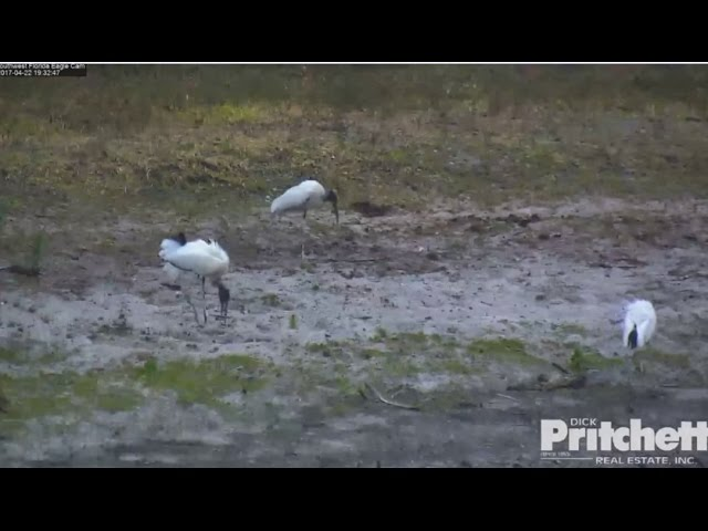 swfl-eagles-wood-storks-at-the-pond-harriet-m-together-on-the-oct-4-22-17
