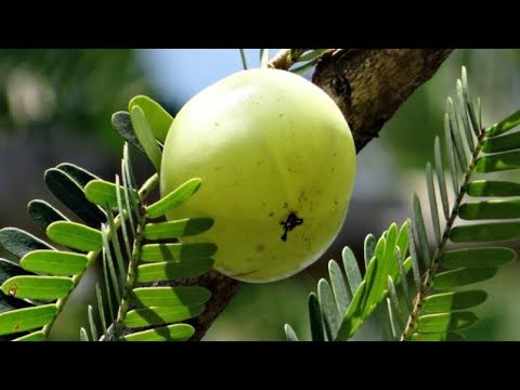 how-to-cure-diabetes-permanetly-with-amla-|-say-goodbye-to-diabetes-in-just-7-days