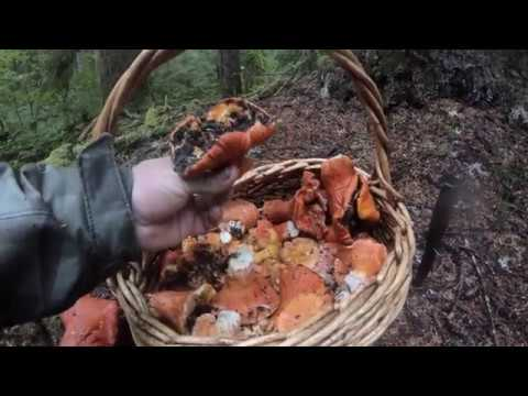 Lobster And Chanterelle Mushroom Picking Pacific Northwest