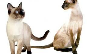 Отличие Тайских и Сиамских кошек