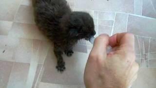 Как выкормить котенка из шприца.