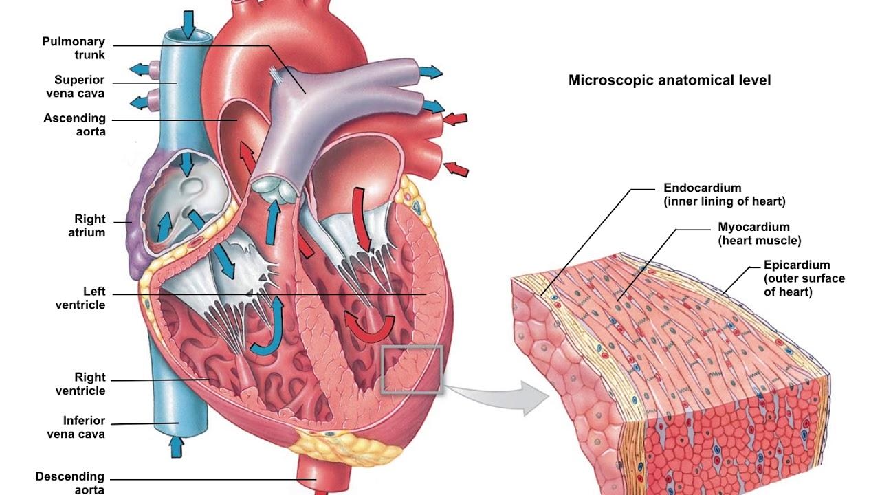 Human Anatomy and Physiology 1: Body Organization - YouTube