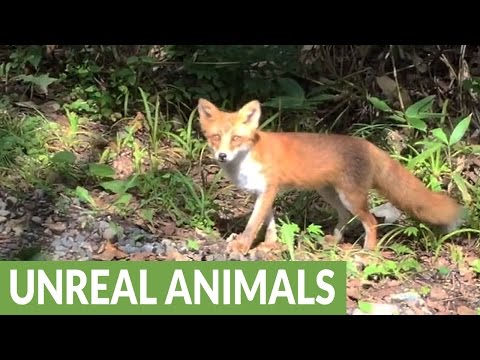 Friendly wild fox smiles for the camera
