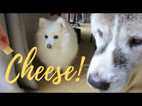 Cheese Party For Dogs...Rough Collie, Akita & Japanese Spitz