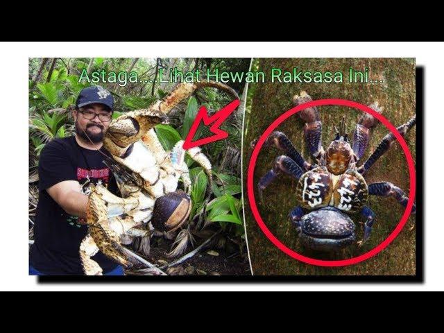 Dunia Gempar! Kepiting Terbesar di Dunia Ditemukan di Indonesia