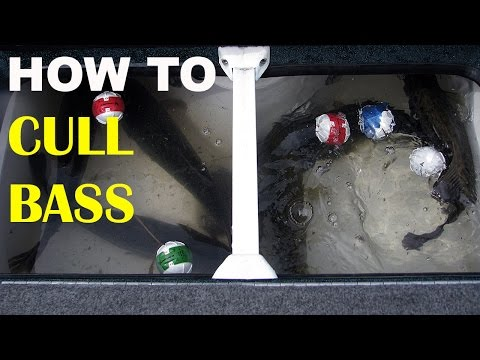 How To Cull Bass Quickly & Safely | Bass Fishing