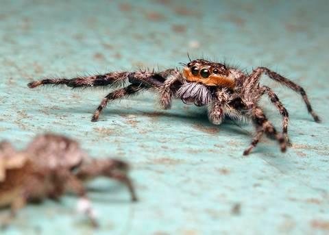 Courtship Behavior of a Male Platycryptus undatus Jumping Spider