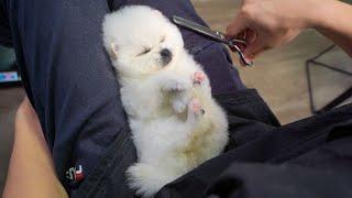 客人送来一只2个月大的小比熊做美容 ‖ How to Groom 2monthold Puppy  ‖ Baby Bichon Grooming ‖ pet groomer
