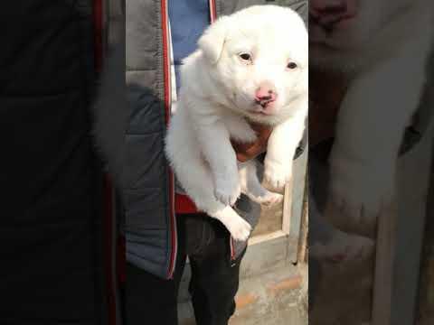 8650006680 Dog sale in Dehradun Haridwar Dehradun Haldwani Uttrakhand white Pomeranian