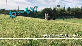 ボーダーコリー雷斗 と トイプードル 風太の休日。 thumbnail