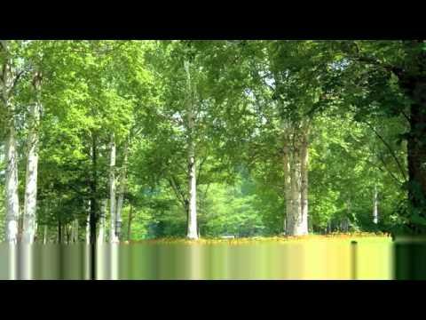 Morning of birch forest ; wild bird calls bird song