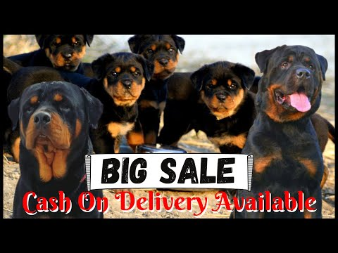 High Quality Rottweiler Puppies for Sale with Cash On Delivery | Quality Doggyz