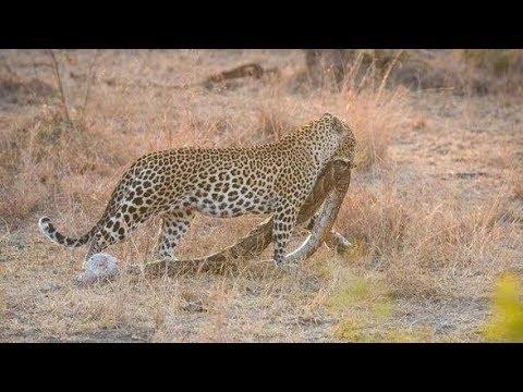 Cuma Macan Tutul yang Nekat Memburu 15 Jenis Mangsa Berbahaya Ini
