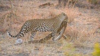 Cuma Macan Tutul yang Nekat Memburu 15 Jenis Mangsa Berbahaya Ini MP3