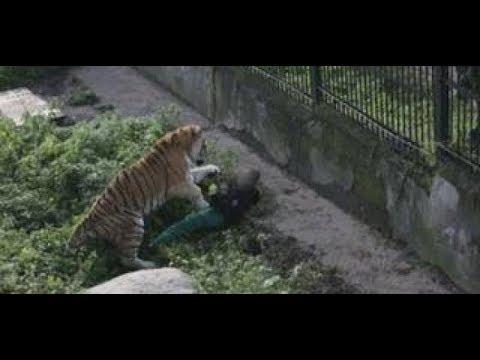 Russische Raubkatze: Tiger Geht Auf Tierpflegerin Los