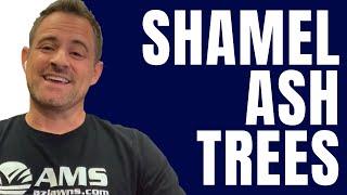 Shamel Ash Trees Are Great Shade Trees For The AZ Desert