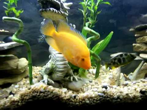 55 gallon cichlid community fish tank youtube for Good community fish