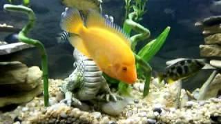55 gallon cichlid community fish tank