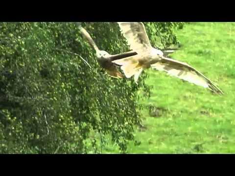 Leucistic Red Kite (Milvus milvus)