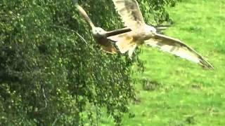 Leucistic Red Kite (Milvus milvus)