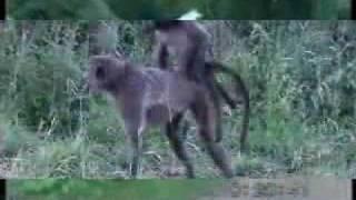 hiba-komik maymunlar